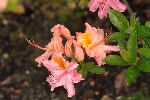 Azalea arborescens 'Quiet Thoughts' NEU!