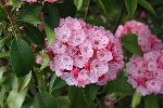 Kalmia latifolia 'Heart of Fire'