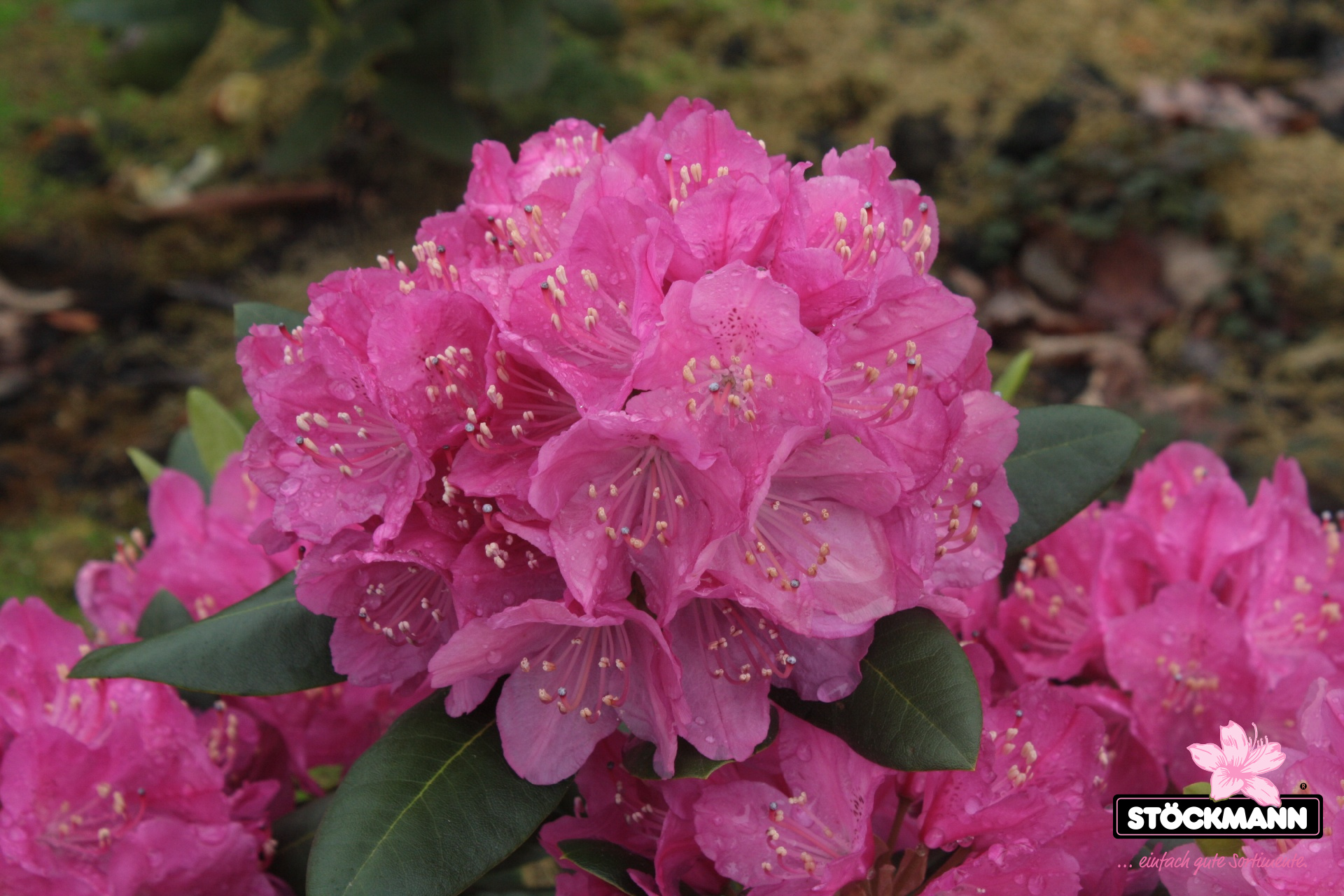Rhododendron 'Abraham Lincoln' NEU!