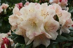 Rhododendron astrocalyx 'Lachsgold'