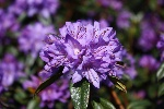 Rhododendron augustinii 'Statuette'