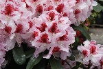 Rhododendron 'Belami' -R-