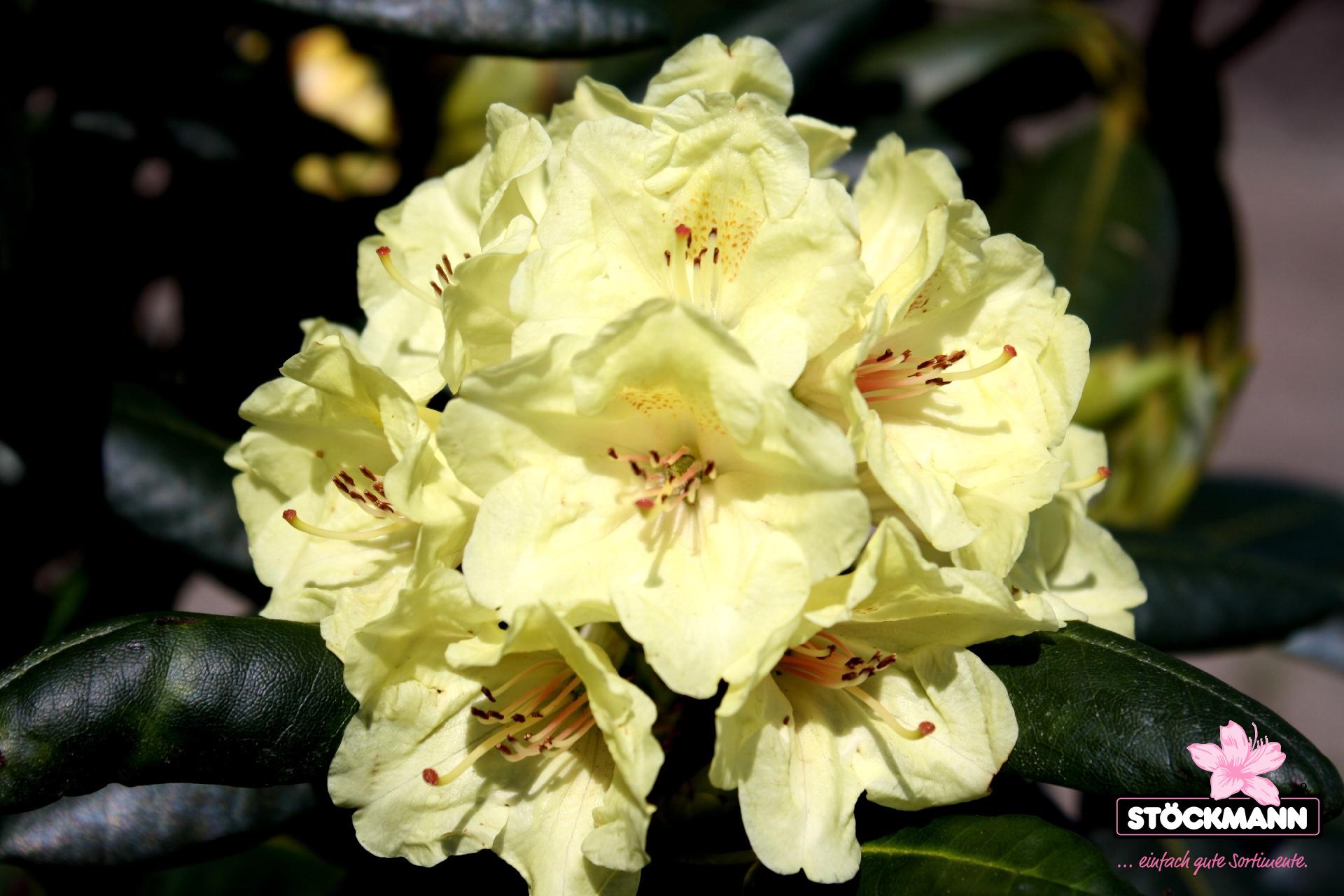rhododendron 39 bohlken 39 s laura 39 r neuheit st ckmann. Black Bedroom Furniture Sets. Home Design Ideas