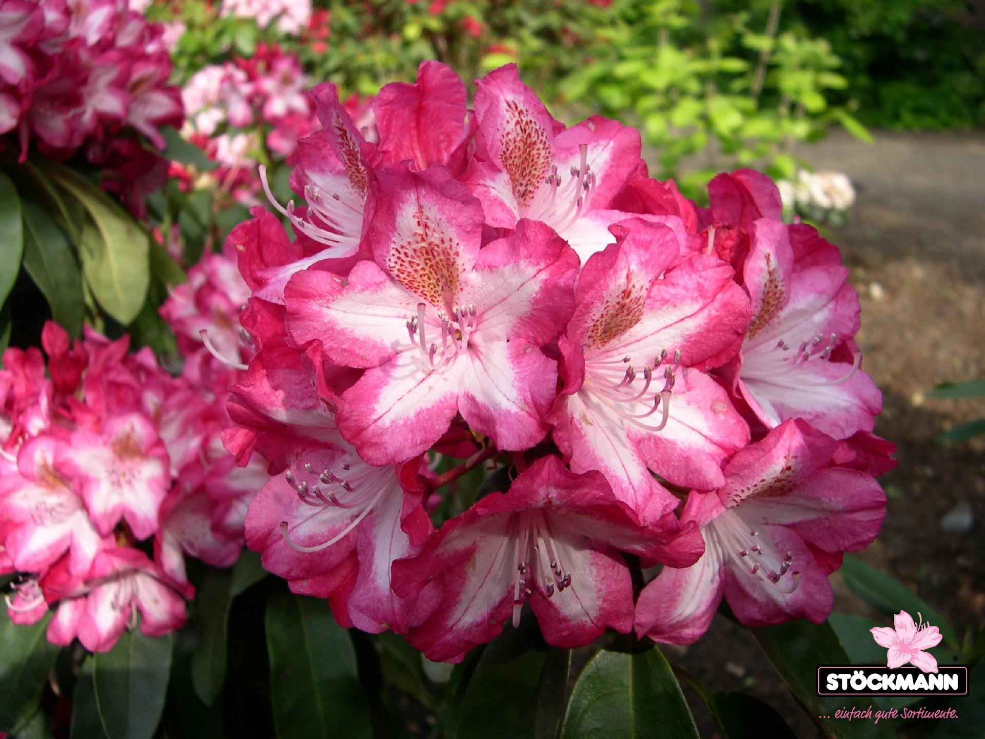 rhododendron vielfalt st ckmann baumschulen. Black Bedroom Furniture Sets. Home Design Ideas
