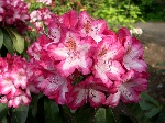 Rhododendron 'Bunter Favorit' NEUHEIT!