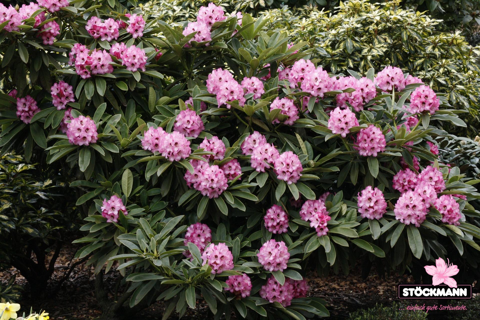 rhododendron calophytum 39 dominik 39 st ckmann baumschulen. Black Bedroom Furniture Sets. Home Design Ideas