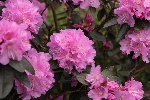 Rhododendron carolinianum 'Checkmate'