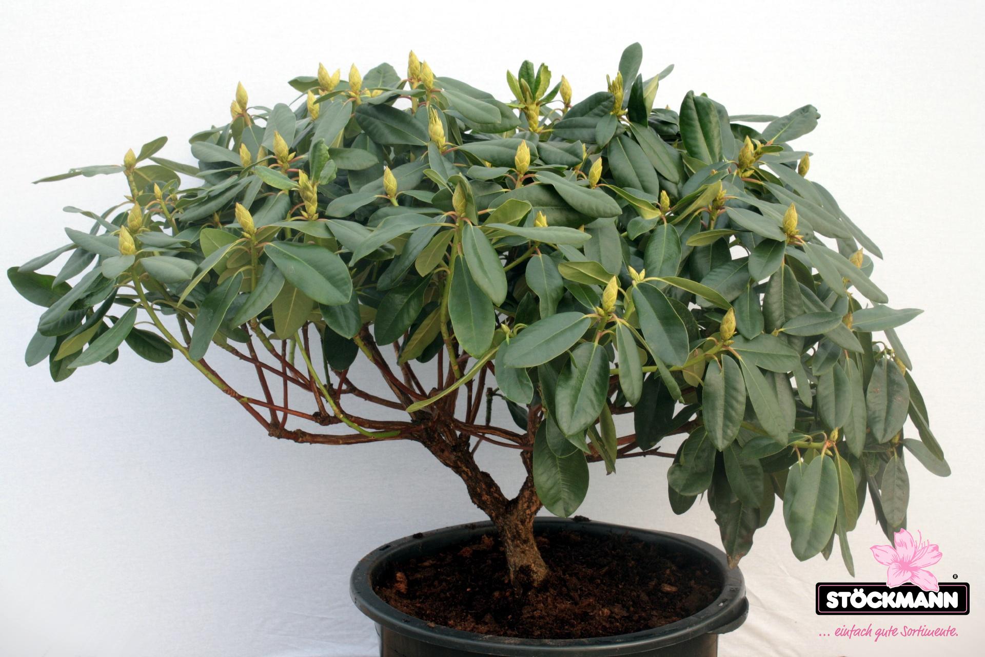 rhododendron decorum 39 dagmar 39 st ckmann baumschulen. Black Bedroom Furniture Sets. Home Design Ideas
