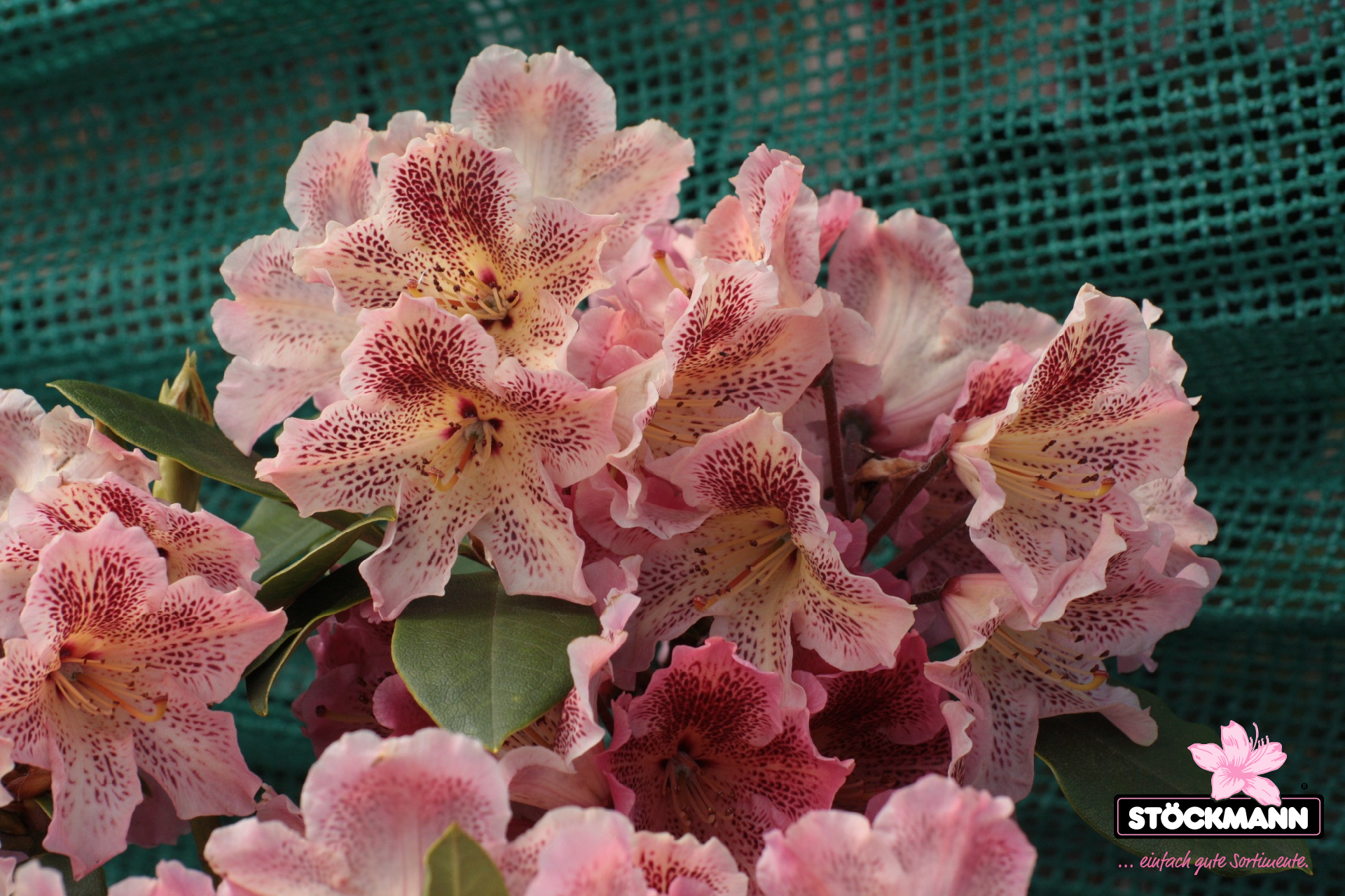 rhododendron 39 djingestan 39 neuheit st ckmann baumschulen. Black Bedroom Furniture Sets. Home Design Ideas