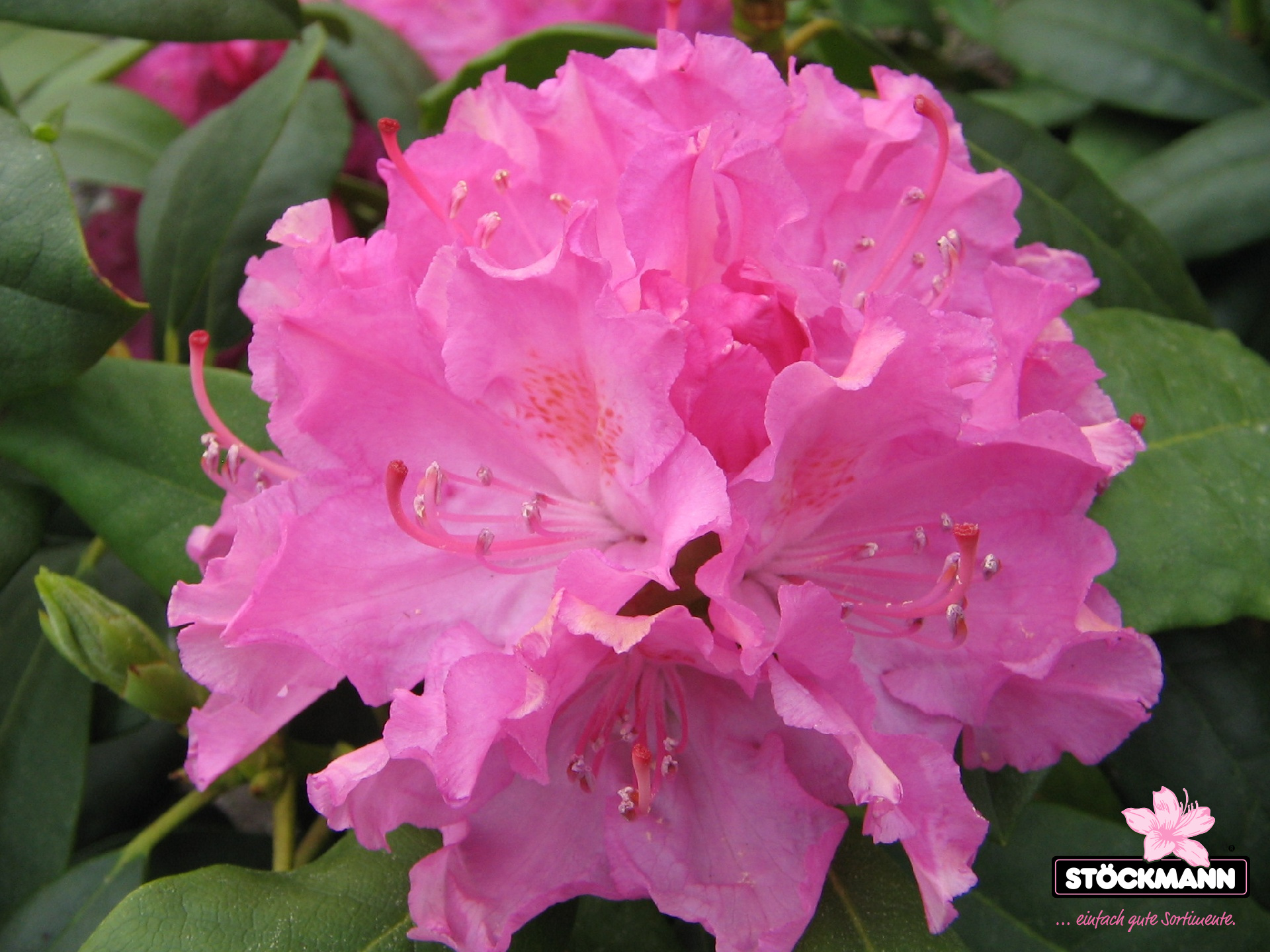 rhododendron 39 ginta 39 st ckmann baumschulen. Black Bedroom Furniture Sets. Home Design Ideas