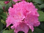 Rhododendron 'Ginta'