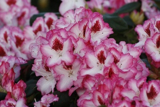 Rhododendron 'Hachmann's Charmant' -S-