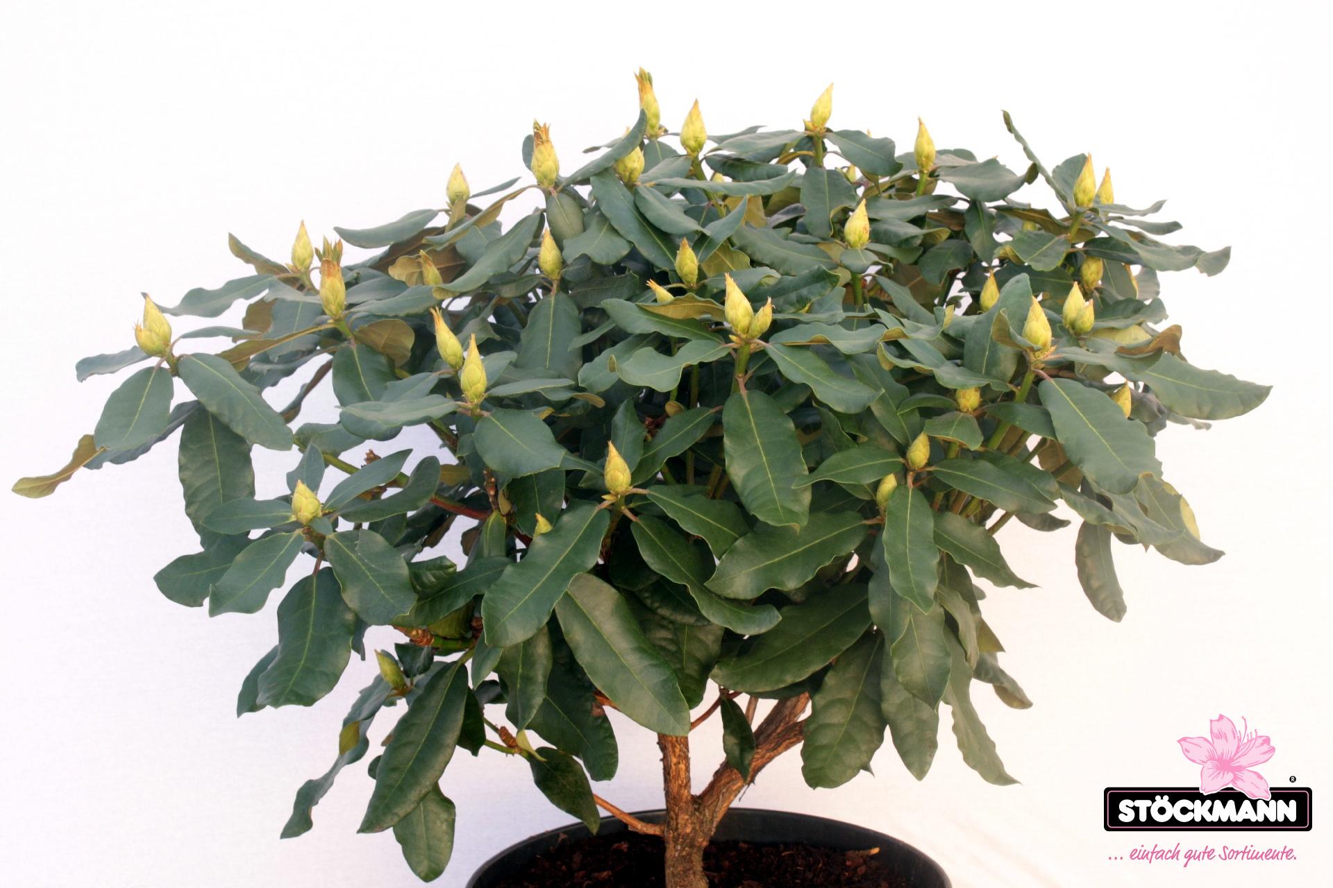 rhododendron 39 hachmann 39 s feuerschein 39 r st ckmann. Black Bedroom Furniture Sets. Home Design Ideas