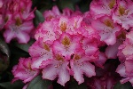 Rhododendron 'Junifee' -R-