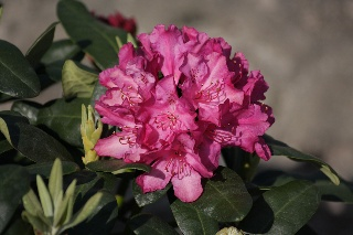 Rhododendron 'Junifreude'