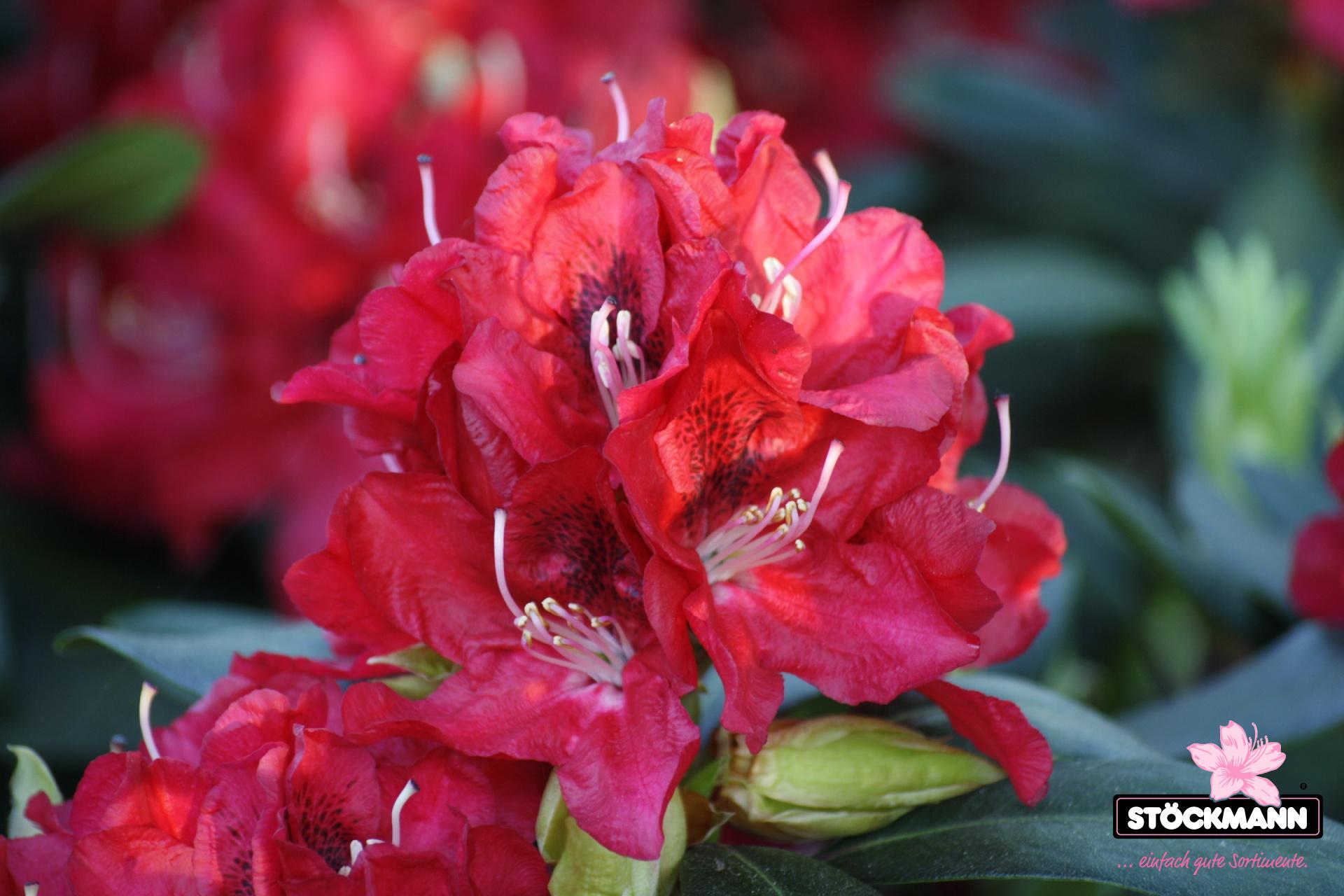 rhododendron 39 karl naue 39 neuheit st ckmann baumschulen. Black Bedroom Furniture Sets. Home Design Ideas