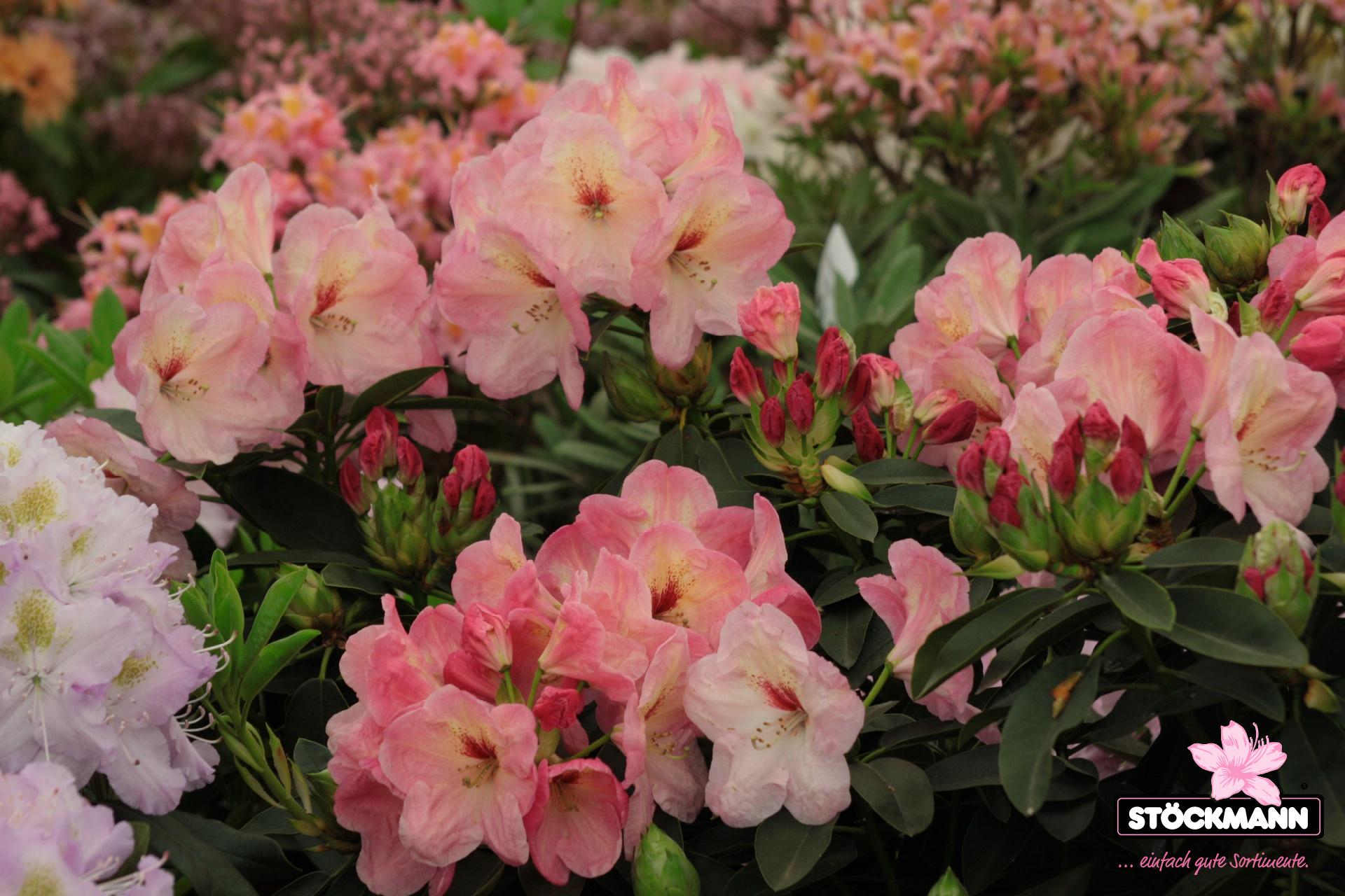 rhododendron 39 konfettiregen 39 neuheit st ckmann baumschulen. Black Bedroom Furniture Sets. Home Design Ideas