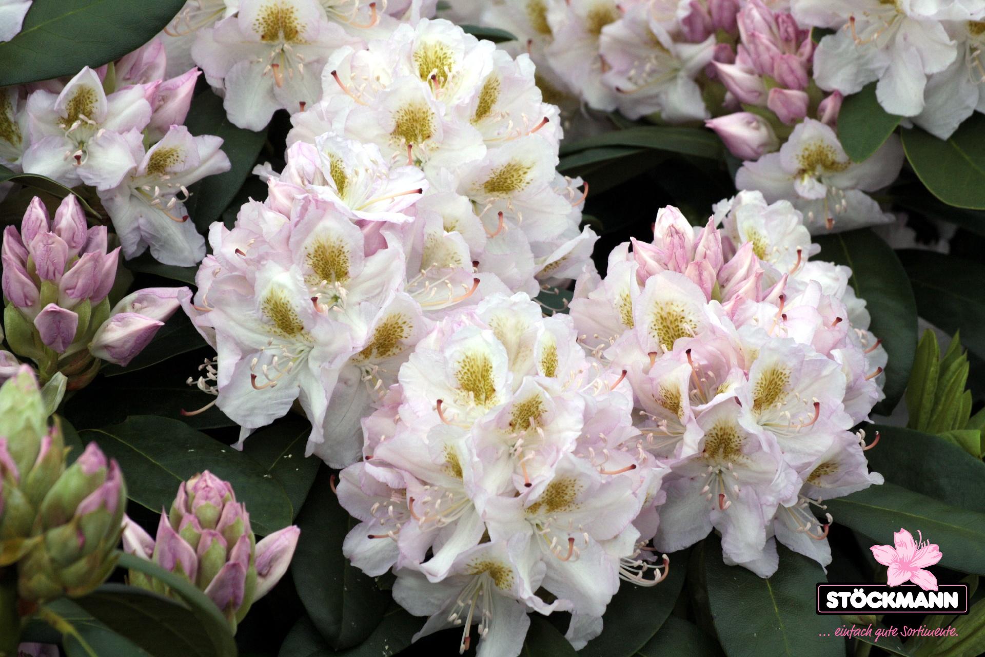 rhododendron 39 madame carvalho 39 st ckmann baumschulen. Black Bedroom Furniture Sets. Home Design Ideas