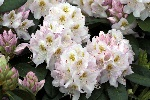 Rhododendron 'Madame Carvalho'