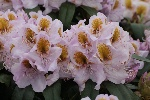 Rhododendron 'Mrs. Anthony Waterer'