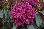 Rhododendron 'Olin O. Dobbs'