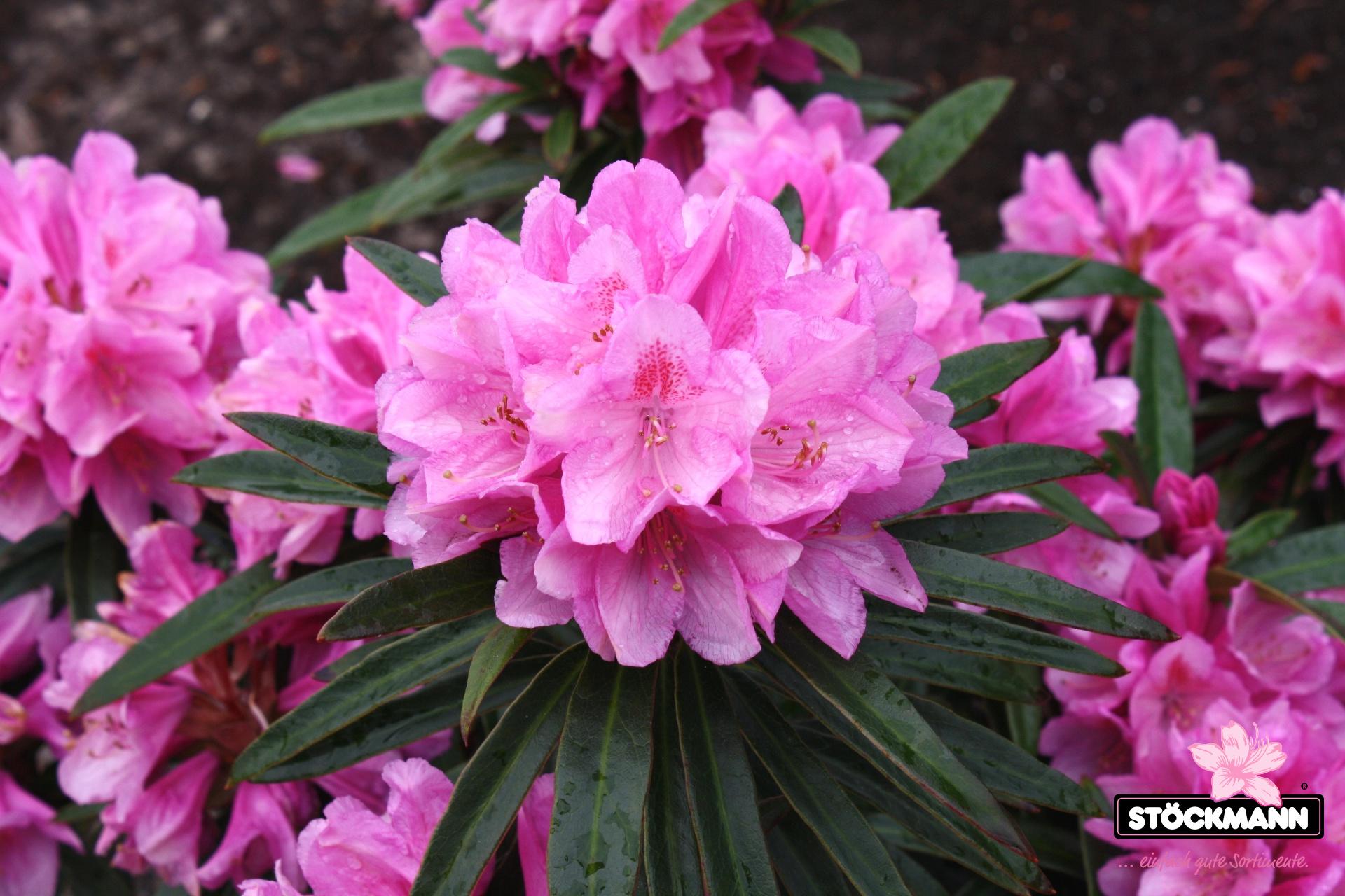 rhododendron ponticum 39 graziella 39 st ckmann baumschulen. Black Bedroom Furniture Sets. Home Design Ideas