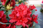 Rhododendron 'Red Impulse'