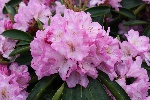 Rhododendron 'Rose Duft'