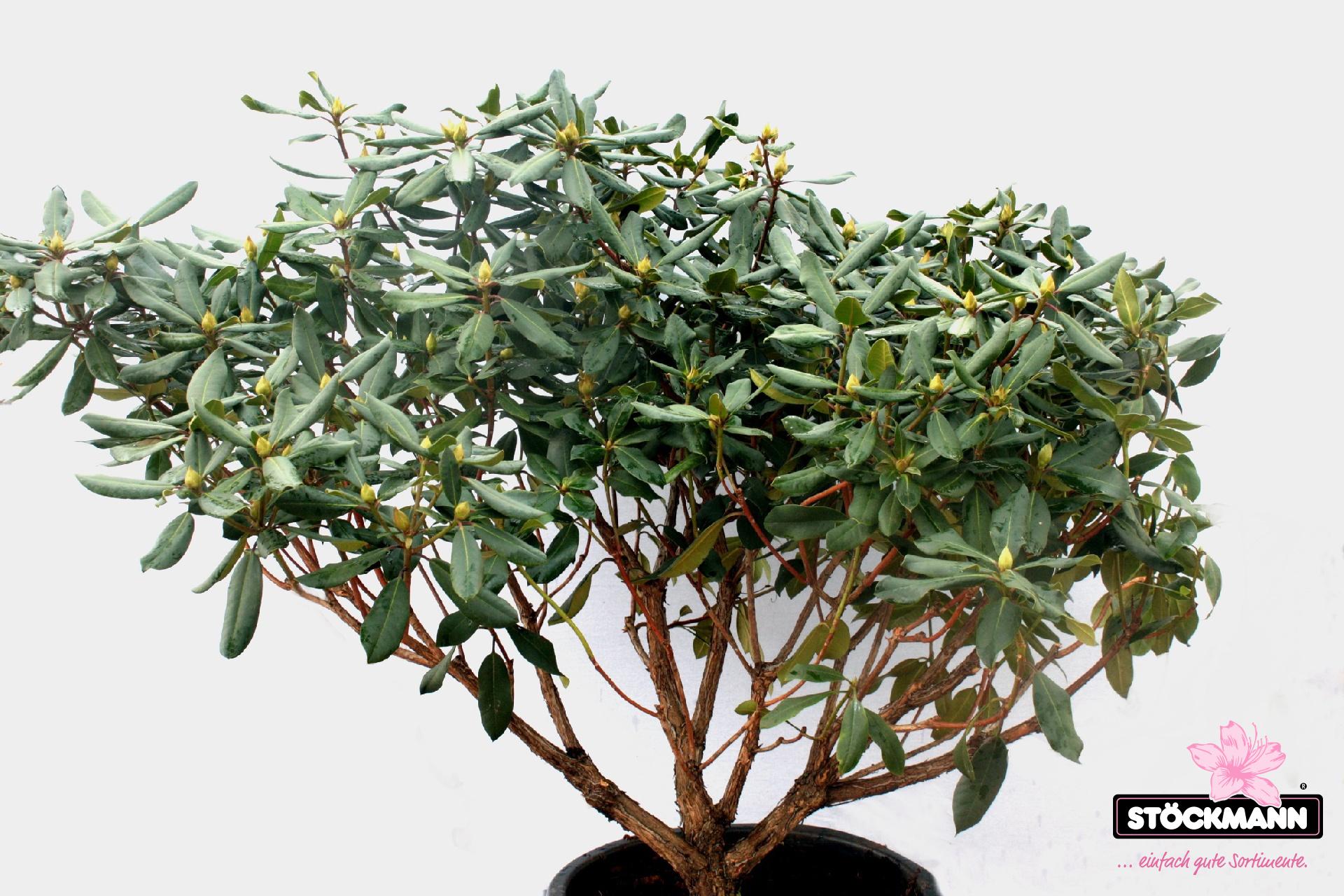 rhododendron 39 tanaga 39 neuheit st ckmann baumschulen. Black Bedroom Furniture Sets. Home Design Ideas
