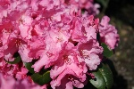 Rhododendron williams. 'Irmelies'
