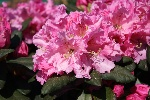 Rhododendron williams. 'Rodrigo'