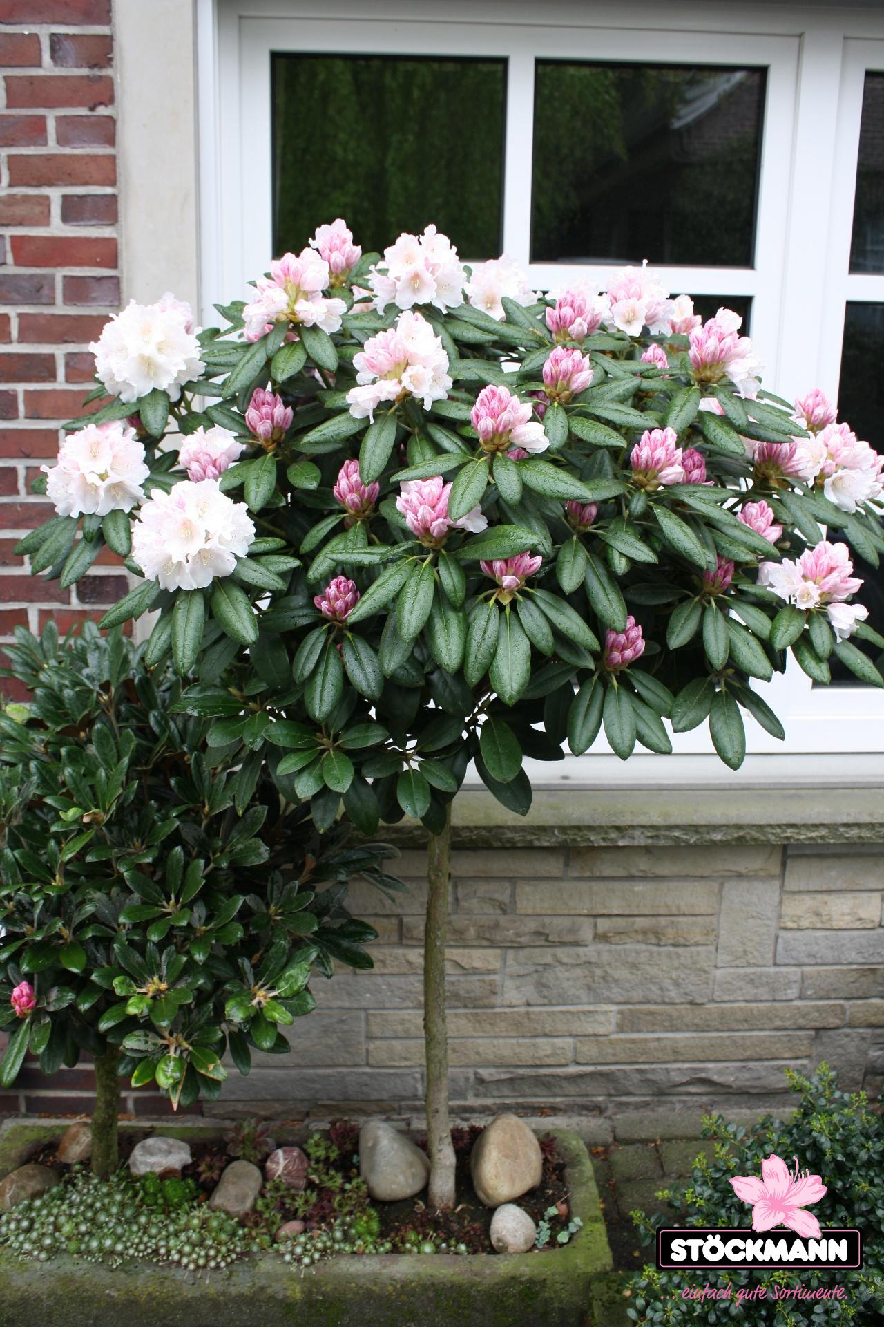 Etwas Neues genug Rhododendron yakushimanum Hybriden // Stöckmann Baumschulen @MA_47