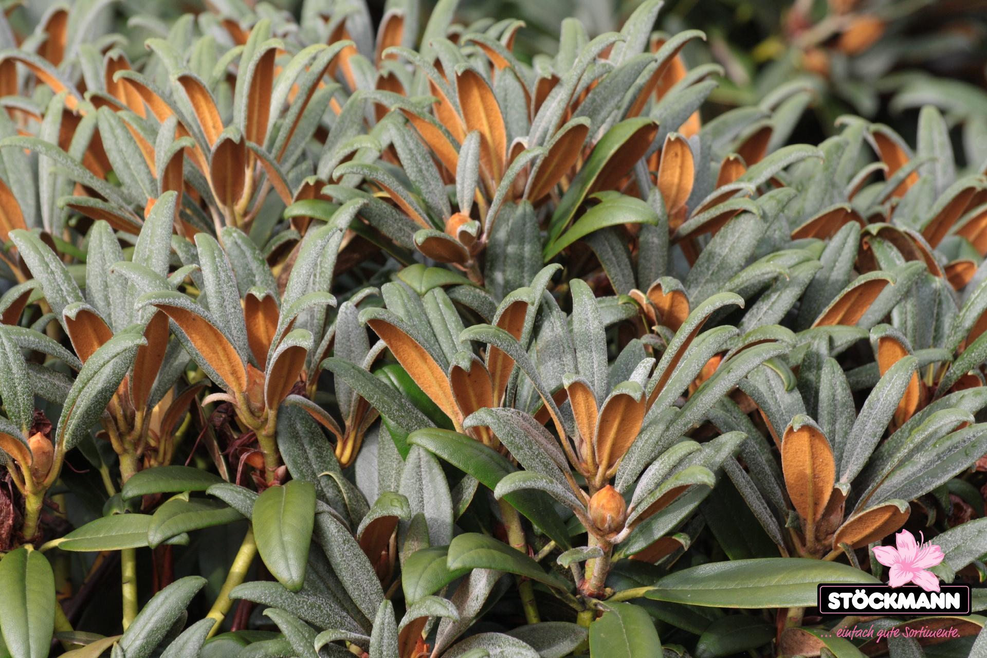 rhododendron yakush 39 aprilmorgen 39 neuheit st ckmann. Black Bedroom Furniture Sets. Home Design Ideas