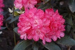 Rhododendron yakush. 'Astrid' -S-