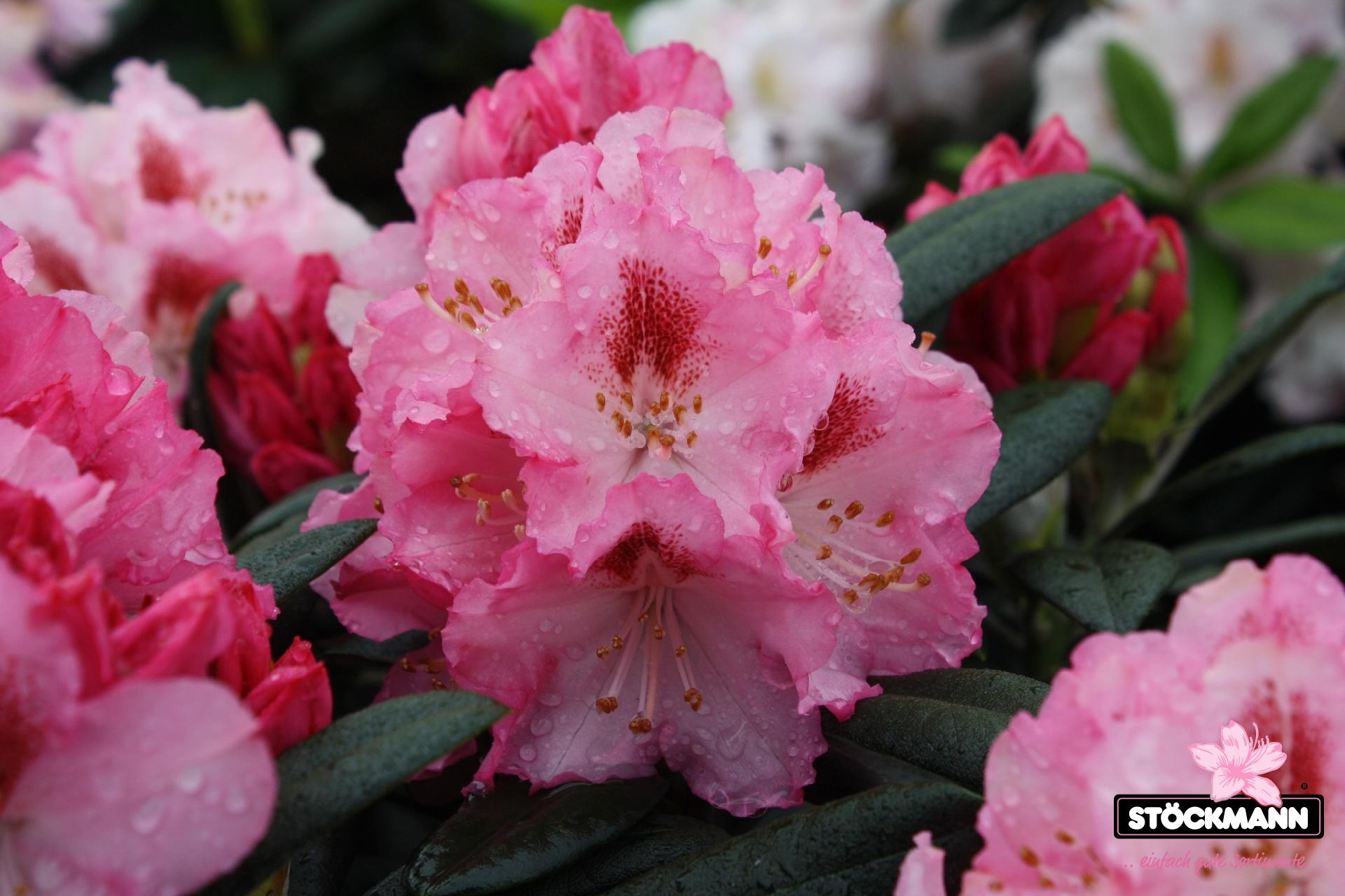 rhododendron yakush 39 ballk nigin 39 st ckmann baumschulen. Black Bedroom Furniture Sets. Home Design Ideas