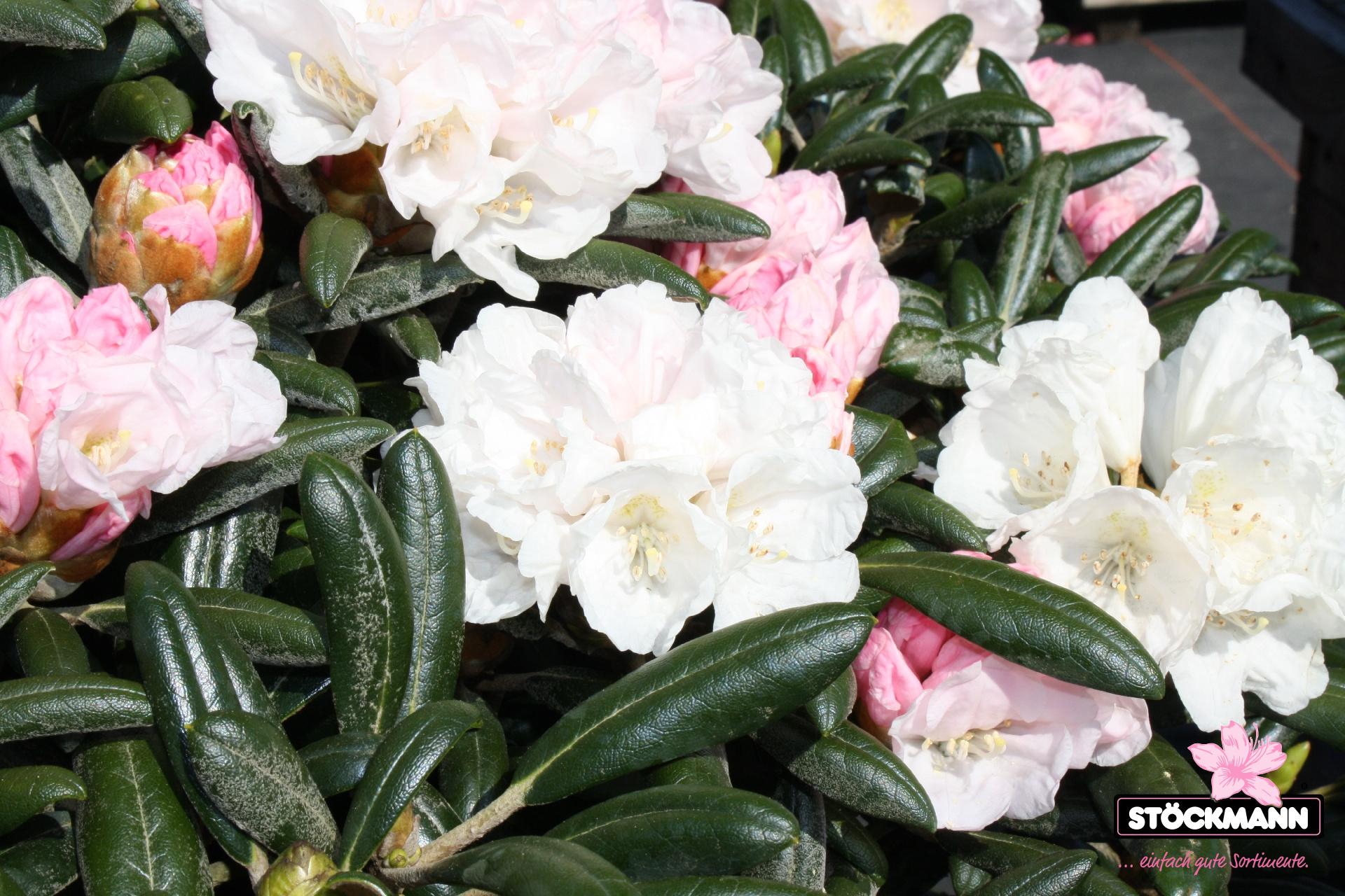 rhododendron yakush 39 blue leaves 39 neuheit st ckmann. Black Bedroom Furniture Sets. Home Design Ideas