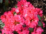 Rhododendron yakush. 'Morgenrot'