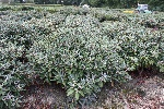 Rhododendron yakush. 'Silver Lady'