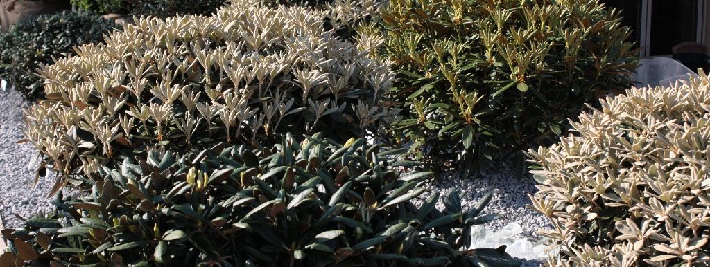 Gartengestaltung mit rhododendron st ckmann baumschulen for Gartengestaltung rhododendron